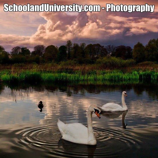 Swan Lake - Nature Photography