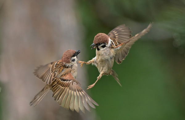 Passer montanus - Birds Photography