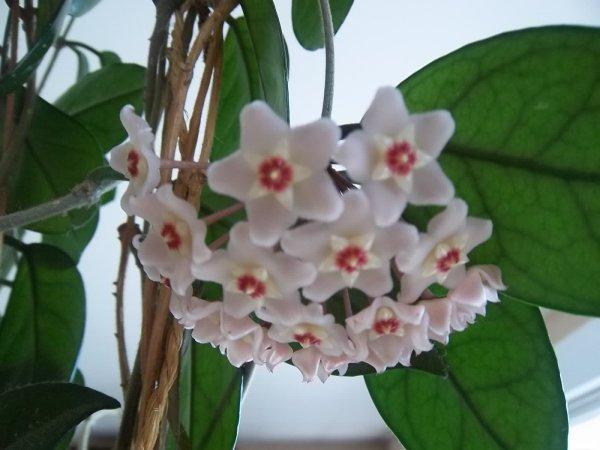 Articles de marlouise tagg s pommier du japon mon jardin des collines - Pommier du japon toxique ...