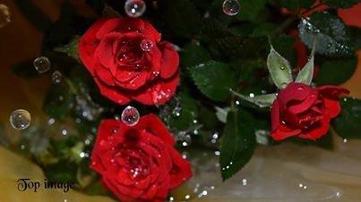 pour mes amis qui aiment les roses