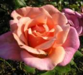 memere ces après midi ont ira bénir     des roses pour toi - ces les roses sainte rita