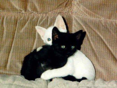 chat blanc et chat noir blog de animaux en folie715. Black Bedroom Furniture Sets. Home Design Ideas