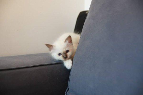 Jango, petit mâle espiègle bleu point :-p