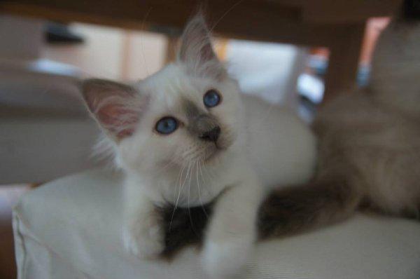 June, femelle bleu point, câline et un peu espiègle :-p  DISPONIBLE