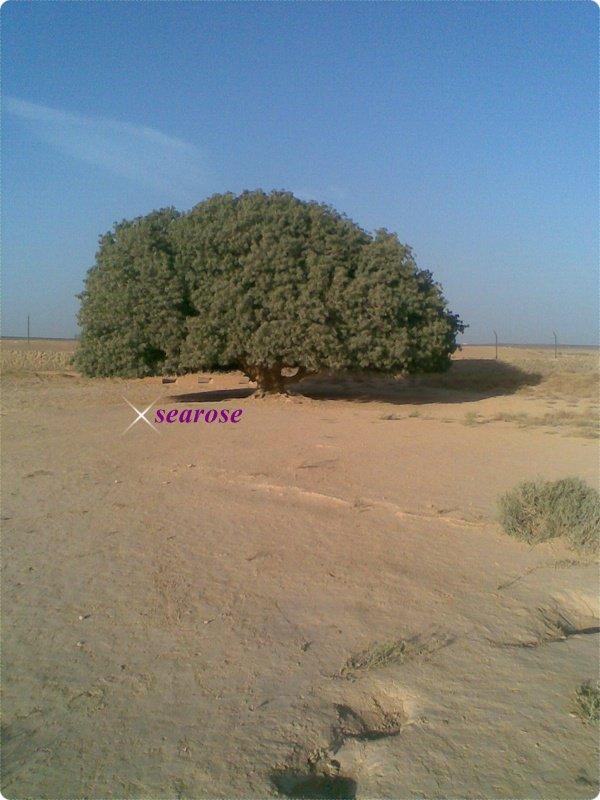 الشجرة التي استظل تحتها الرسول عليه الصلا ة والسلام