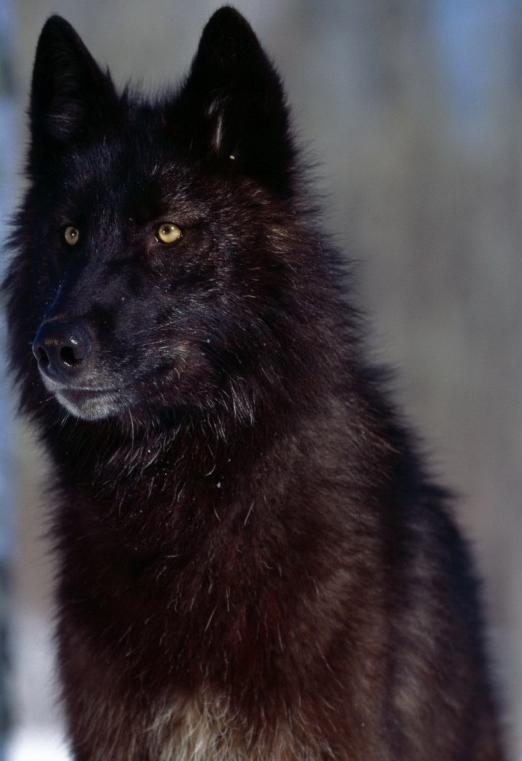 les  Loups d'Akasha