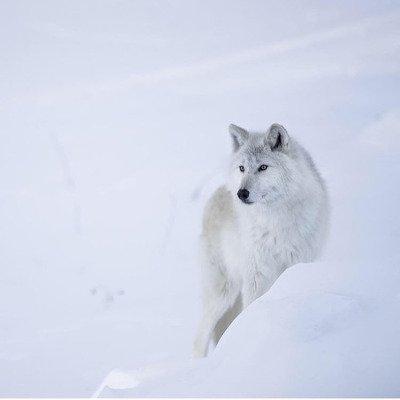 L'Univers des Loups