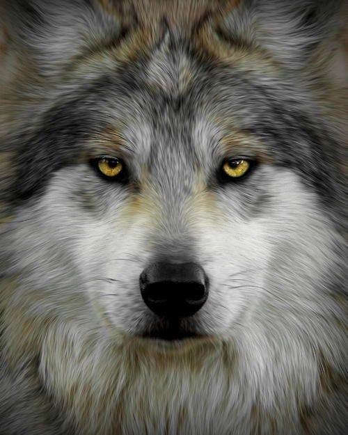 Wolf Passion