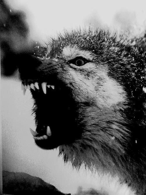 Qui a peur du Grand Méchant Loup?