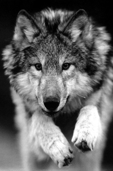 Wolves & Nature