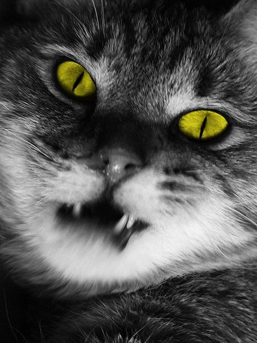Chat Vampire;)