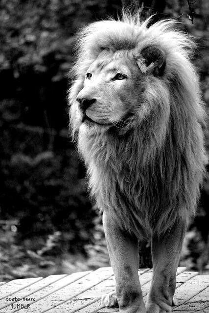 Le Roi des Animaux mérite largement sa couronne!