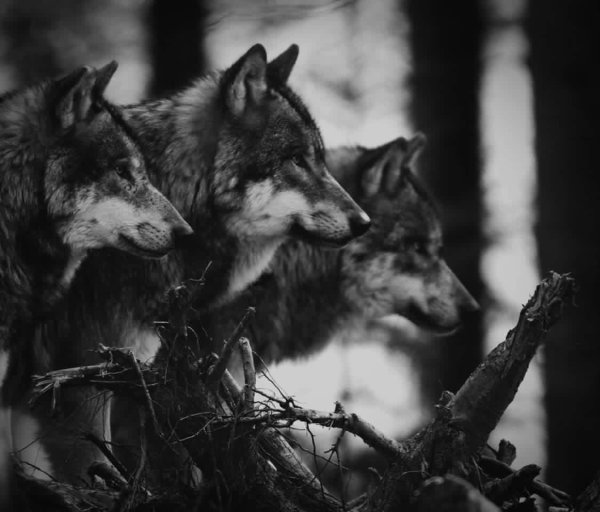 Wolves <3