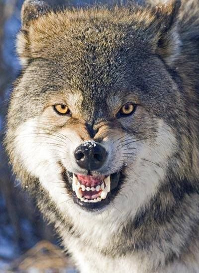 Wolves Part2
