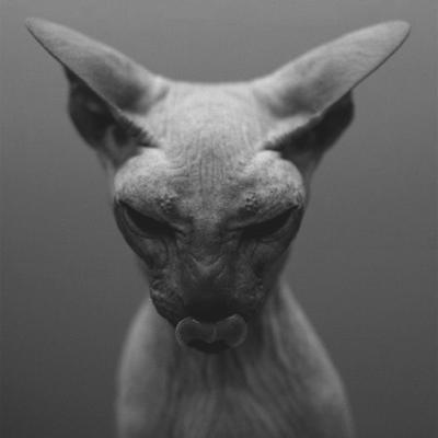Le Sphynx,une merveille de chat