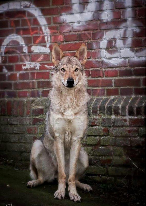 Les Loups méritent notre respect