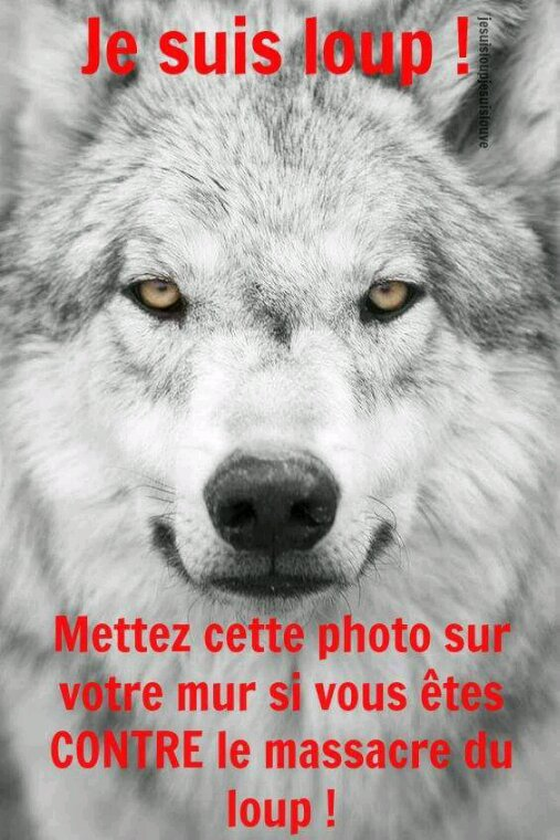Le plus noble animal de cette planète :Le Loup