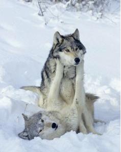 Les Valeurs du Loup:Force et Courage,Loyauté et Fidélité,Honneur et Noblesse...