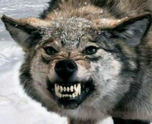 Les Loups du Gévaudan (3e Partie)