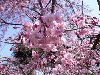Belle arbre sakura tout sur le japon - Arbre japonais rose ...