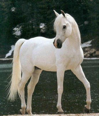 la race preferer des chevaux (pur sang arabe ) j adore