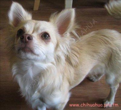 Evolution du chiot: (suite 2) - Chihuahua sans tabous
