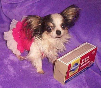 Boo Boo Est Le Plus Petit Chien Du Monde Chihuahua Sans Tabous
