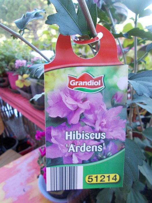 HIBISCUS QUE MA FILLE MA OFFERT