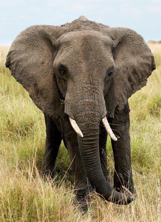 L'éléphant