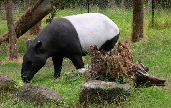 le tapir