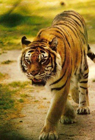 Tigre ....             lieu : ( La palmyre ) ( dpt :17)