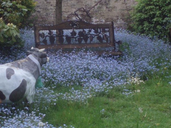 le ciel est tombé dans mon jardin , un véritable tapis de myosotis d'un bleu magique