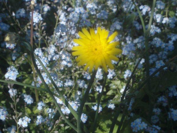 quelques fleurs de mon jardin ,rodhodindron , pivoines , myosotis ,la jaune ???? mystère