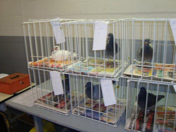 pigeon present a la vente de ma societe