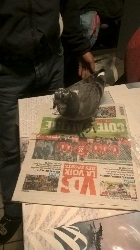 pigeon offert par mon ami riberon Christophe pour emma