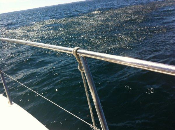 Des poissons par millier en surface