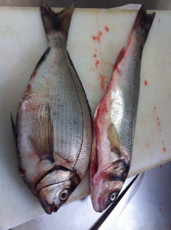 Pêche de dorades