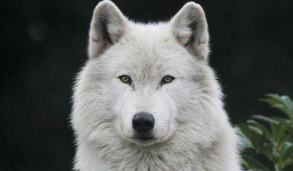 quelle beau regard ce loup blanc le monde spirituel des loups indien ne s plus. Black Bedroom Furniture Sets. Home Design Ideas
