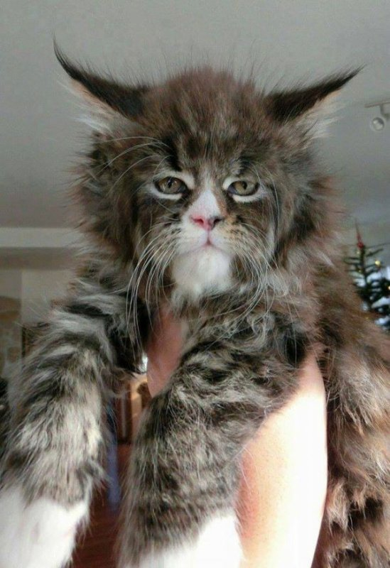 cool Main Coon diabolo !
