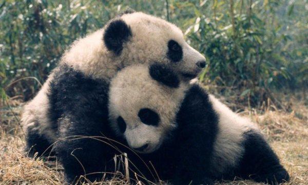Pourquoi panda?