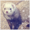 Photo de Dreaming-Ferrets