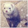 Dreaming-Ferrets