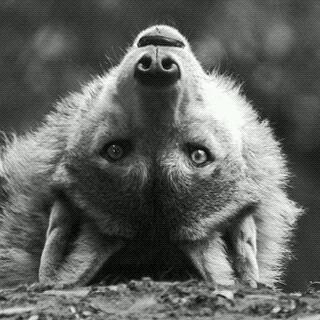 Poeme loup