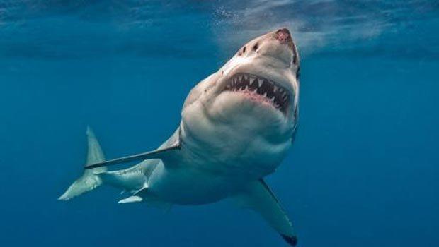 """Un grand requin blanc de 3 mètres dévoré par un """"super-prédateur"""""""