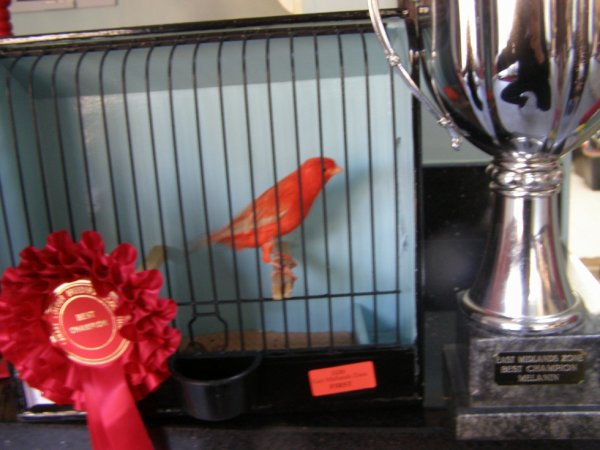 Best Champion  melanin self at East Midland Zone CCBA 2012 and Best Isabel at CCBA colour show 2012
