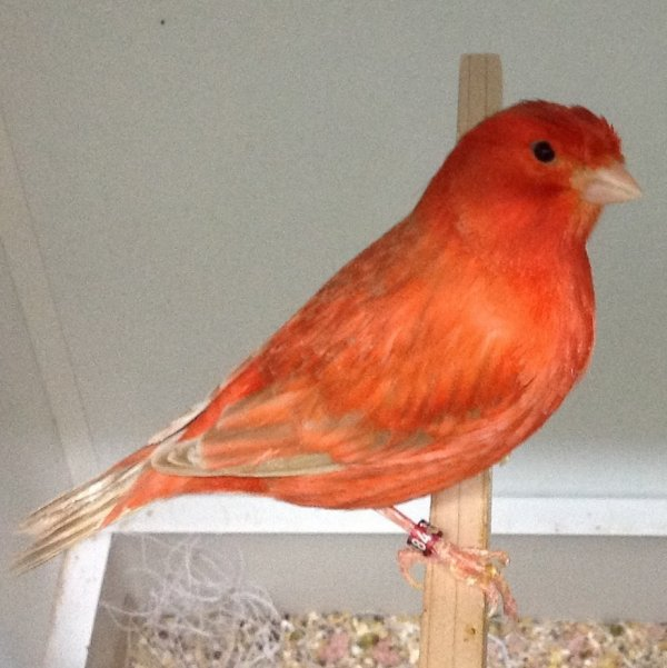 One of my Red Isabel hens