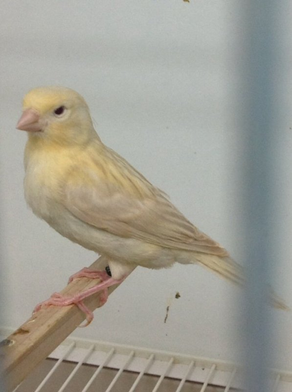 Int Red Isabel  Satinette Before and After the moult..