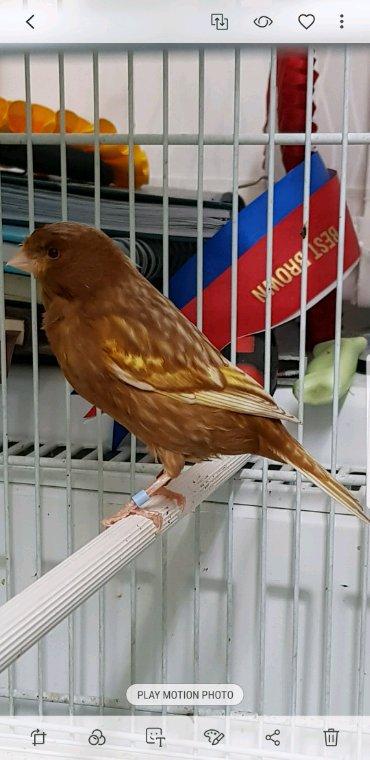 Yellow Phaeo breeding hens