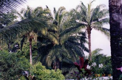 le somptueux panache des ela s palmier a huile kimia la paix en lingala. Black Bedroom Furniture Sets. Home Design Ideas