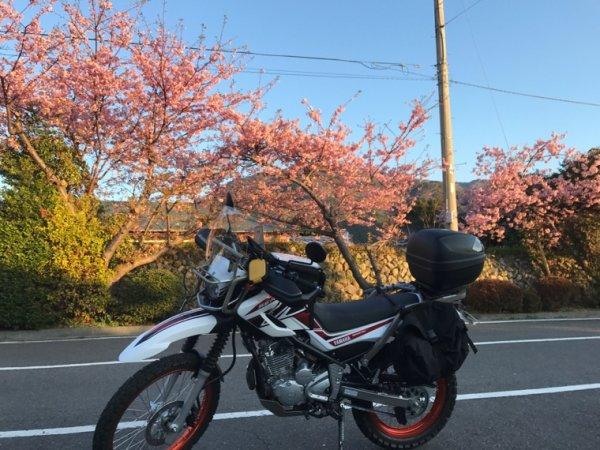 Sakura in Kawazu  2017 part1
